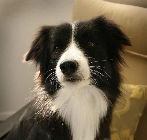 Fly the Border Collie is a Loving Companion