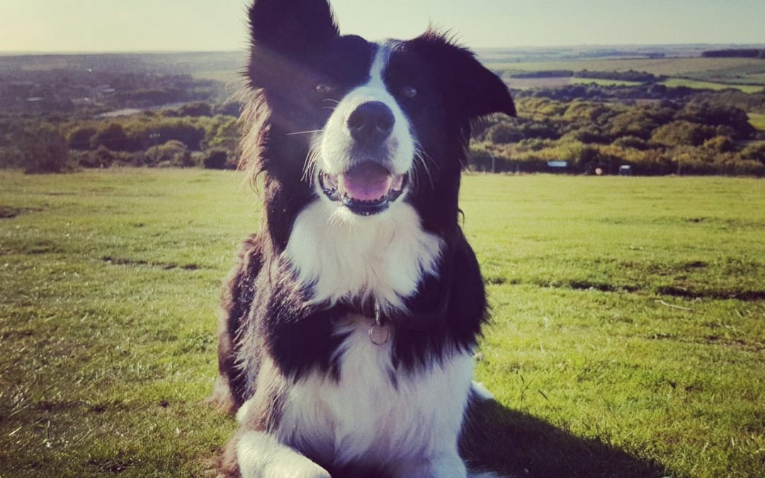 Millie the Border Collie Loves to Round Up Everything!