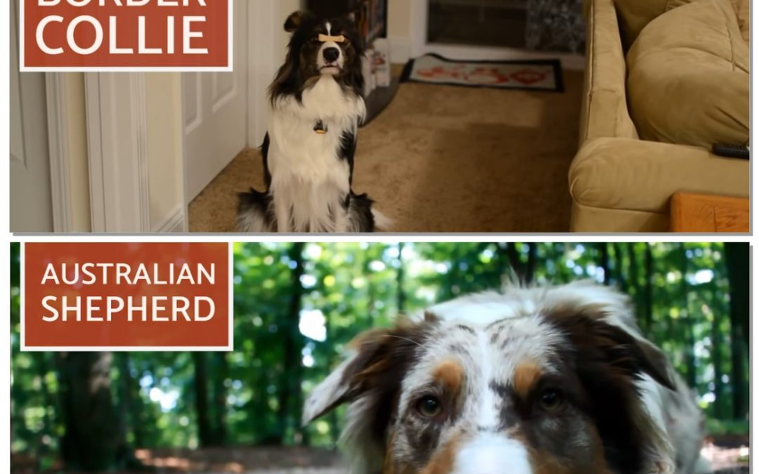 Border Collies Versus Australian Shepherd – What's the Difference?
