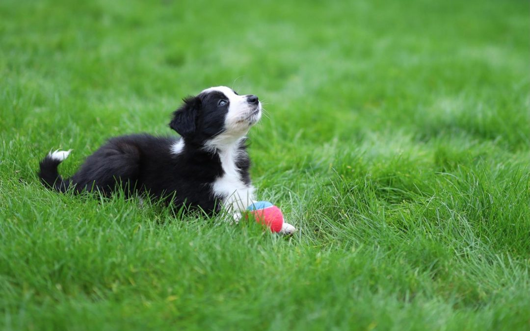 Meet Border Collie Puppy Luna!