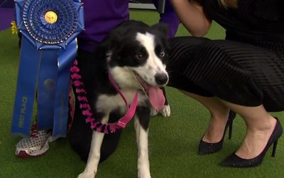 P!nk the Border Collie Wins Agility Competition at 2020 Westminster Kennel Club Dog Show