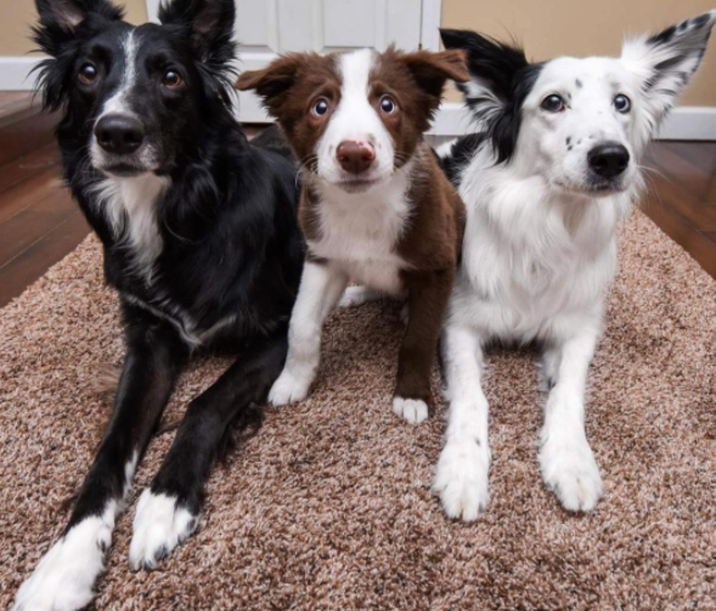 Cute and Friendly Border Collies!