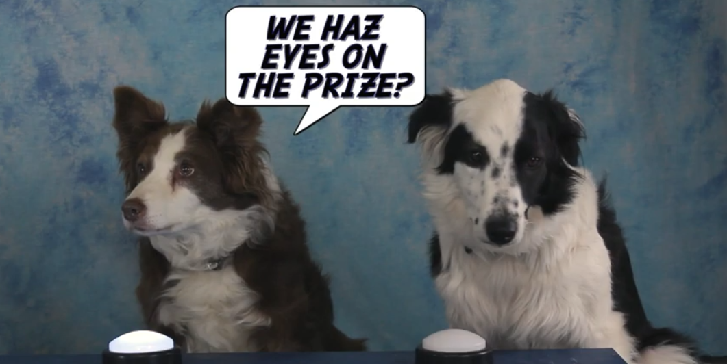 Why Do Border Collies Stare?