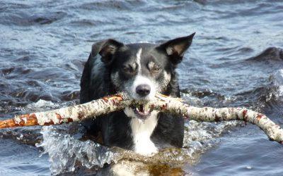 Meet Skye the Border Collie from Scotland